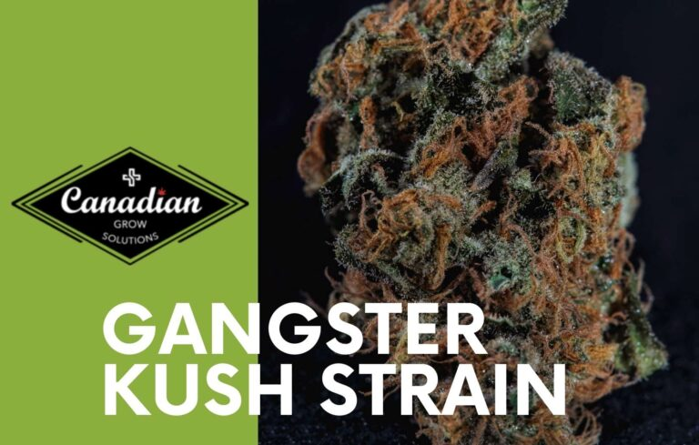 Gangster Kush Strain BY CANADIAN GROW SOLUTIONS