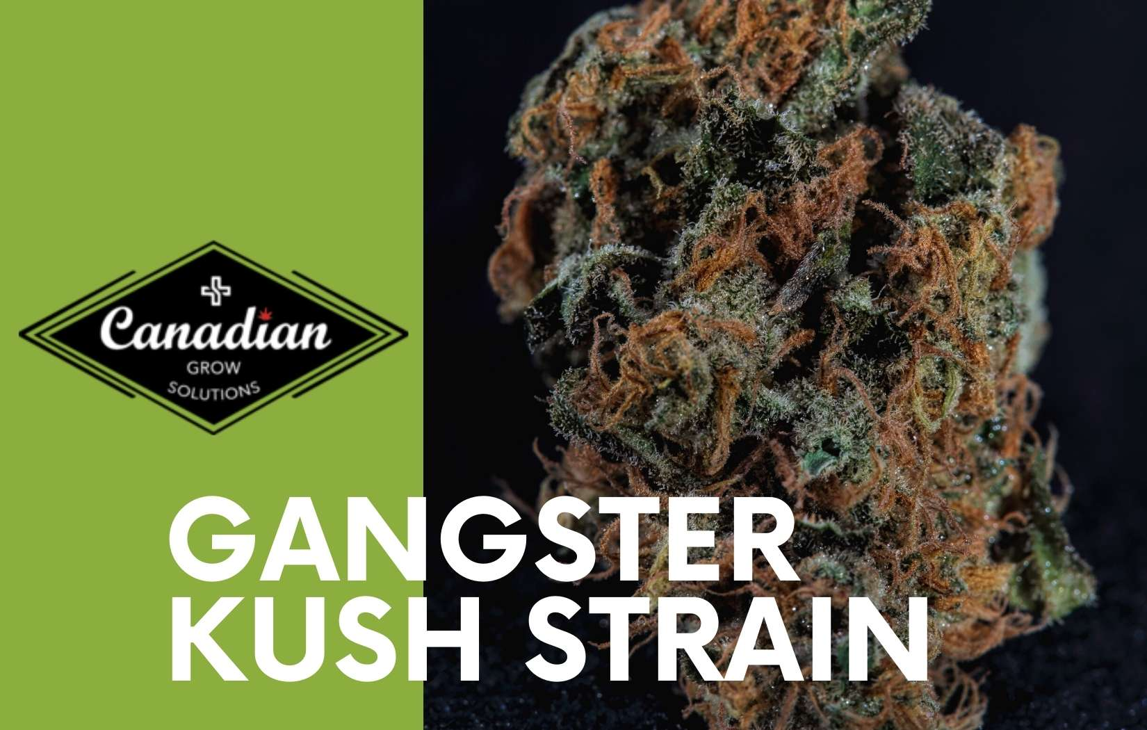 Experience quick and exhilarating high with Gangster OG Kush Strain
