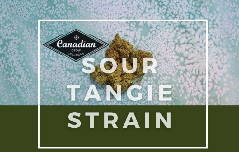 SOUR TANGIE STRAIN CANADIAN GROW SOLUTIONS