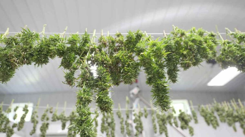Drying cannabis plant in boiler room
