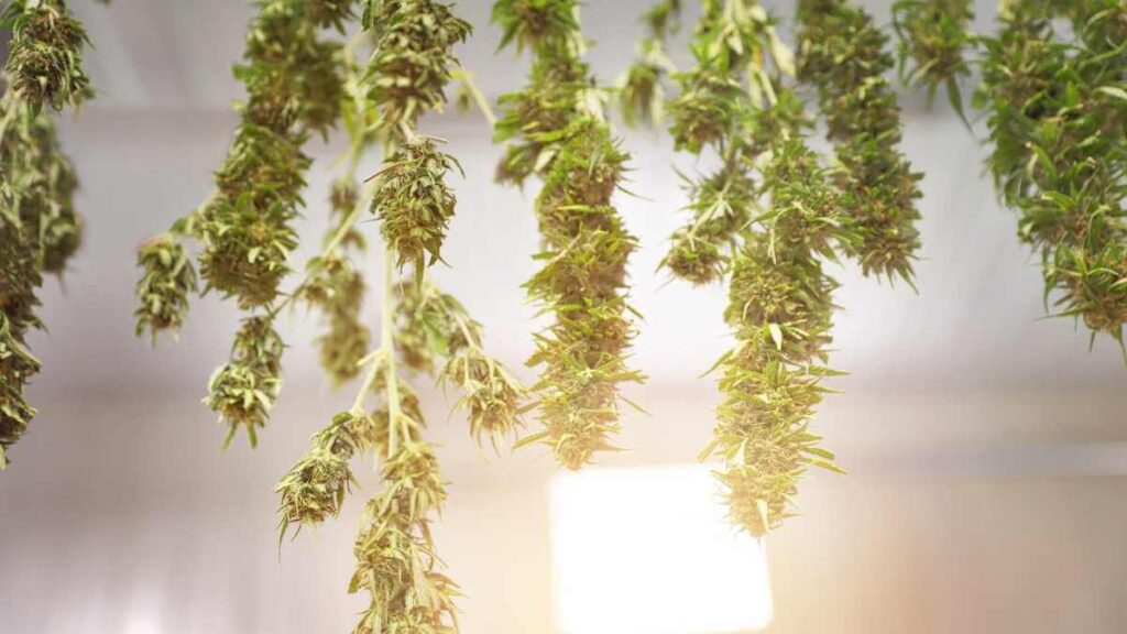Drying cannabis plants in sunlight