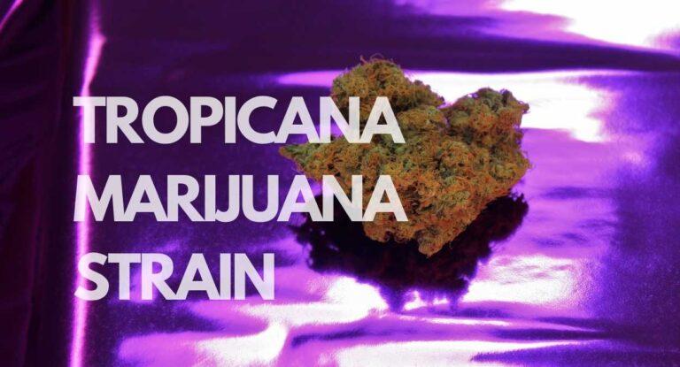 Tropicana marijuana Strain